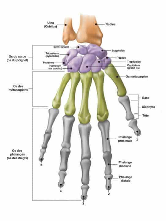 pr-eric-roulot-anatomie-main-anatomie-poignet