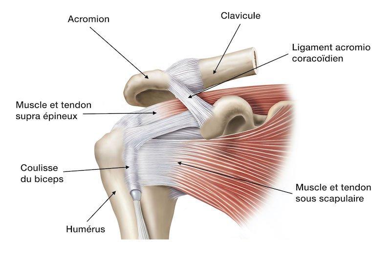 anatomie muscles rotateurs de l épaule -zone conflit sous-acromial épaule