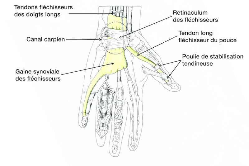 anatomie main anatomie tendons main droite