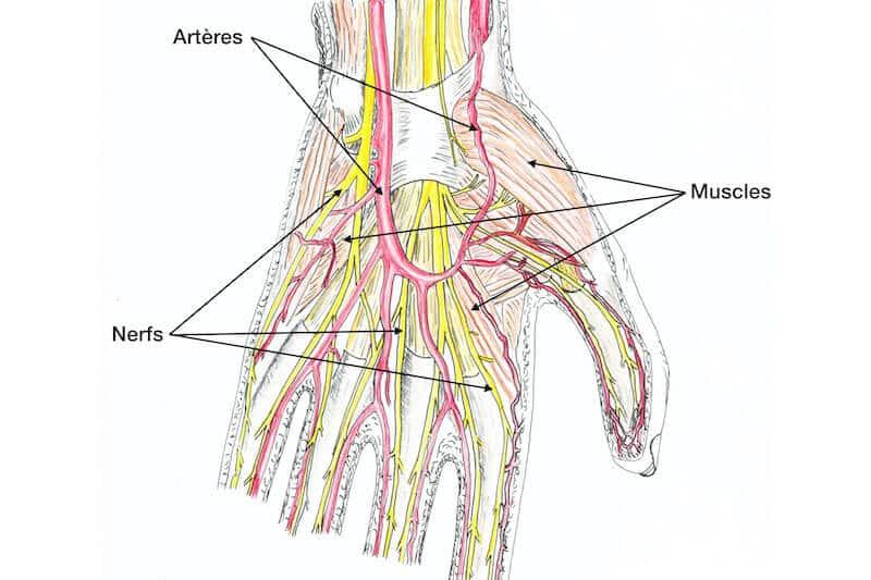 anatomie-de-la-main-gauche-nerf-muscle-artere