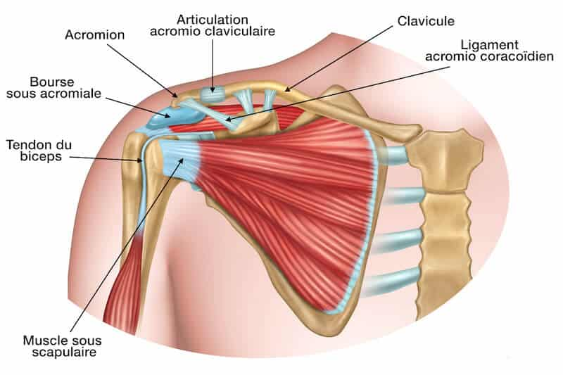 anatomie-epaule-coiffe-du-rotateur-tendinite sous acromiale