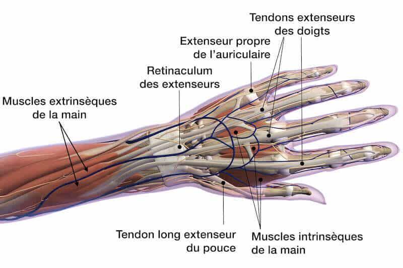 anatomie-main-face-dorsale-ligaments-main-gauche