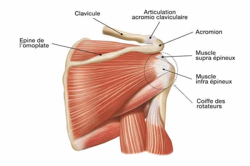 anatomie muscle de la coiffe des rotateurs de l épaule