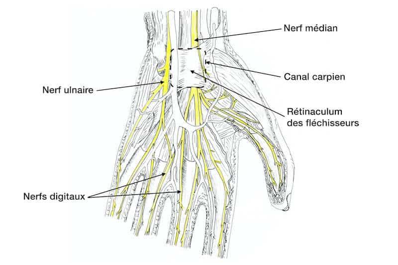 anatomie nerf de la main gauche