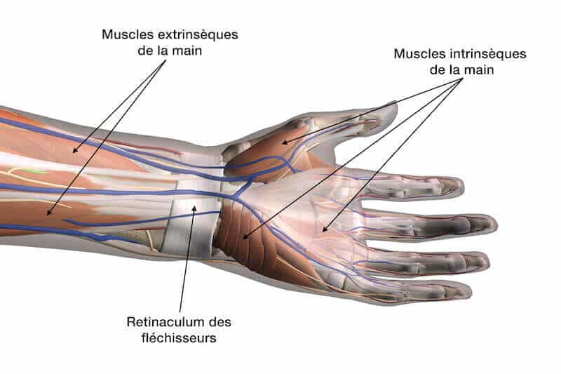 anatomie-main-face-palmaire-muscles-main-intrinseques-et-extrinseques