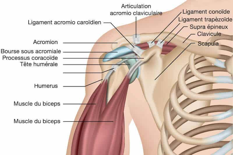 pr-eric-roulot-chirurgie-main-paris-chirurgie-epaule-anatomie-bras