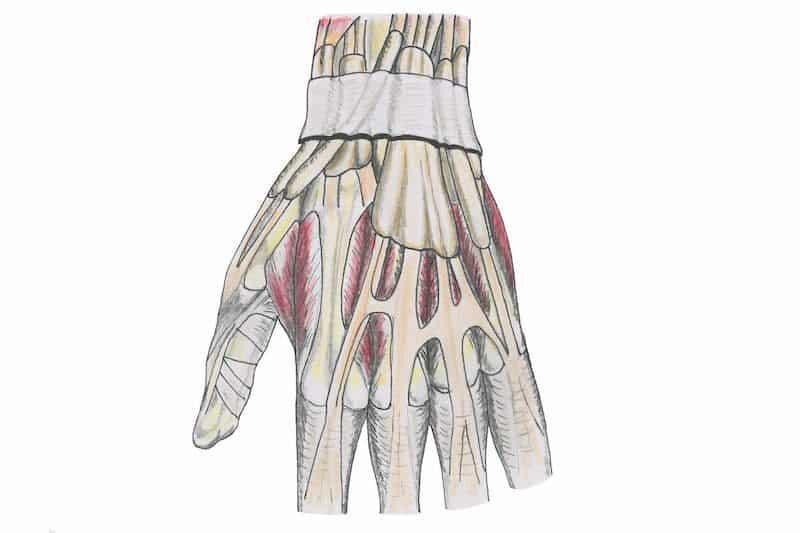ténosynovite de quervain - anatomie poignet droit - tendon extenseur doigt et pouce de la main - gaine synoviale des tendons fléchisseurs