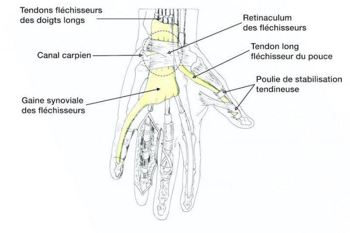 anatomie de la main et du canal carpien