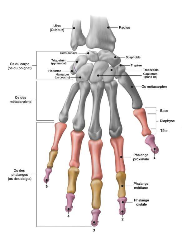 pr-eric-roulot-anatomie-doigt-os-phalange